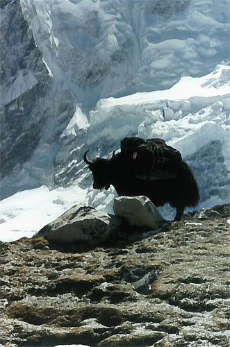 """My"" Yak en route to Everest Base Camp 1997"